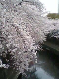 神田川の桜 001