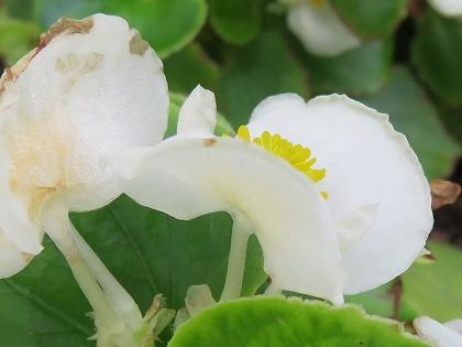 ベゴニア雄花 (1)