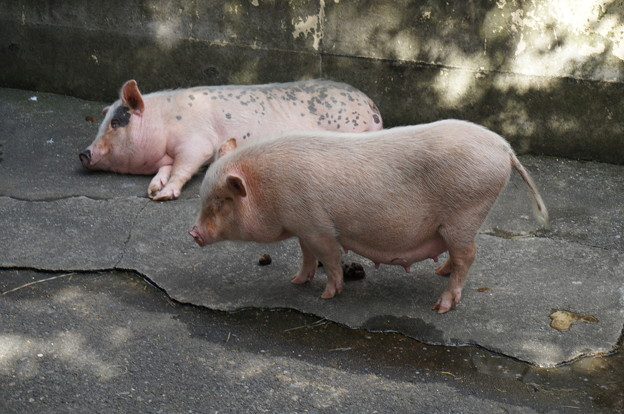 バテ気味の豚さん