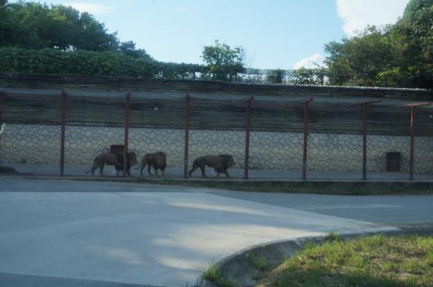 獣舎で待機する雄ライオン達