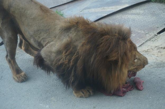 お肉を食べられたライオンさん
