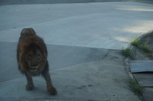 食べられなかったライオンさん