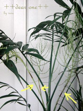 テーブルヤシの花150204_5