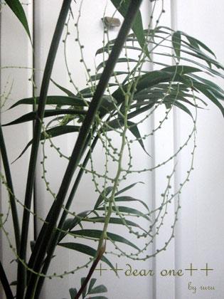 テーブルヤシの花150204_6