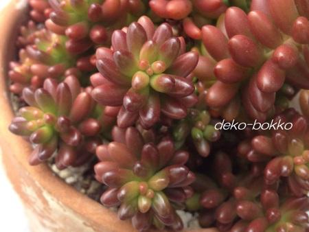 虹の玉 紅葉 201501