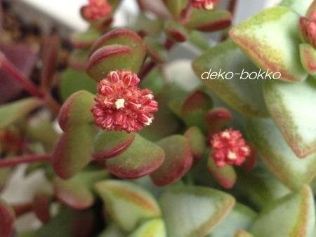 紅稚児の花芽 201501