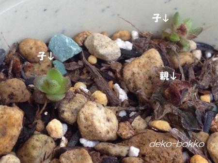 薄紅蓮華 201502