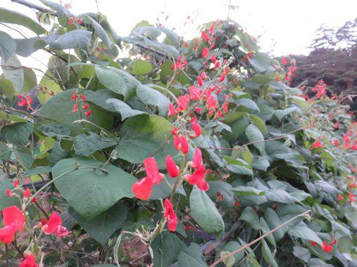 高原豆の花」