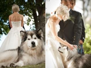 犬と一緒に結婚式_画像_かわいい_ハスキー
