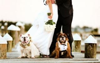 犬と一緒に結婚式_画像_かわいい_ブルドッグ