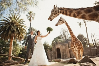 zoo-wedding-giraffes.jpg