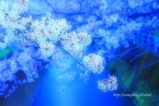 kako-F7ervZfE5WPE75Ar桜