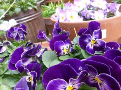 紫のビオラ 2015 2・14