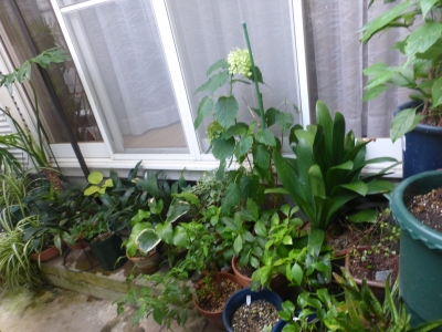 和室前植物 2015 8・15