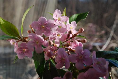 鉢植えの匂い桜10