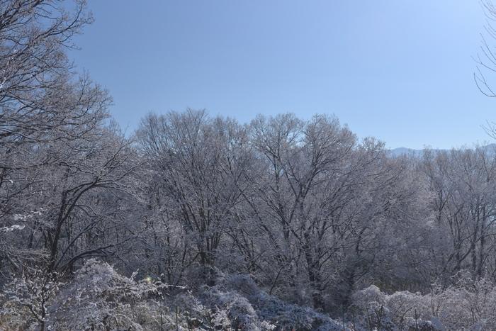 大欅とクヌギに雪24