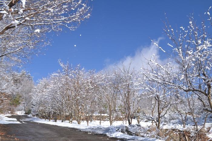 花梨の木に雪41