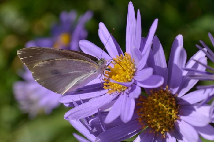 ボルドーシオンと蝶1