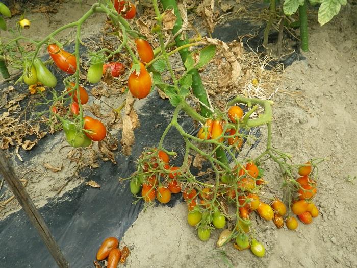 トマトの実1の木15_08_08