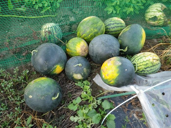 収穫7_15_08_14