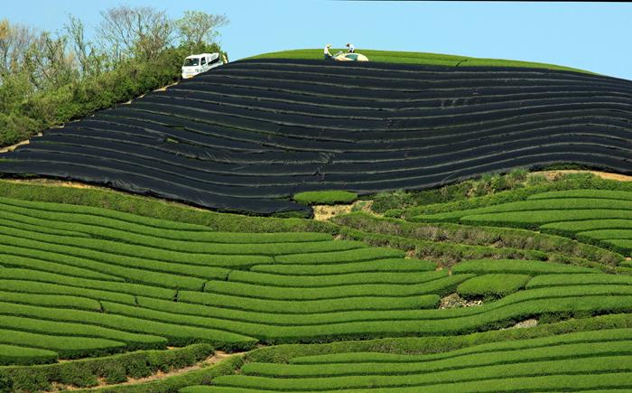 110507和束の茶畑