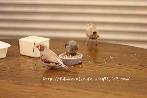 キンカ3羽1