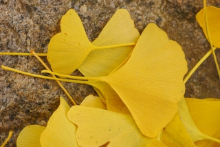 Ginkgo_Tree_Ginkgo_biloba_Leaves_Rock_3008px.jpg