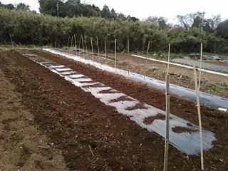山芋の定植