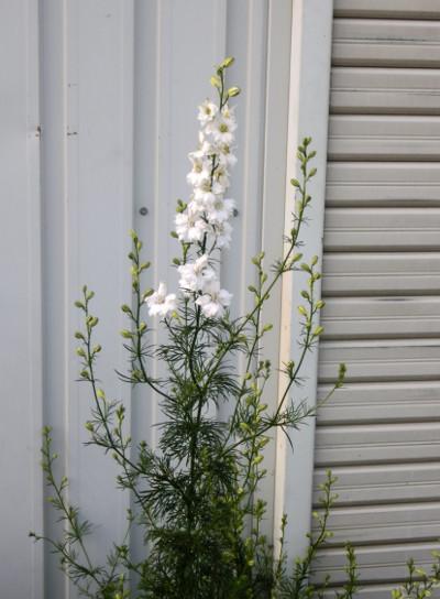 150718-我が家の花-2