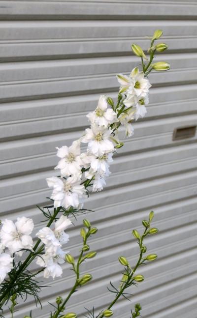 150718-我が家の花-3