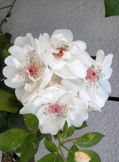 150718-我が家の花-4