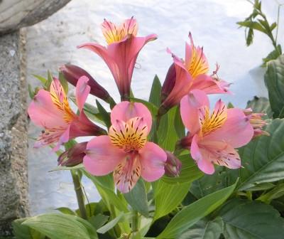 150801-散歩道の花-2