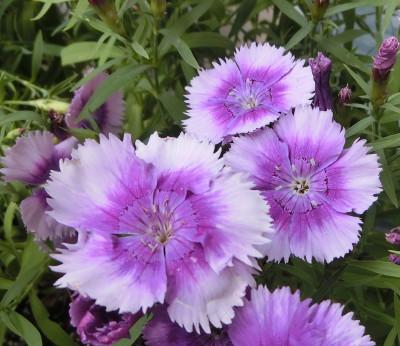 150811-紫なでしこ-5