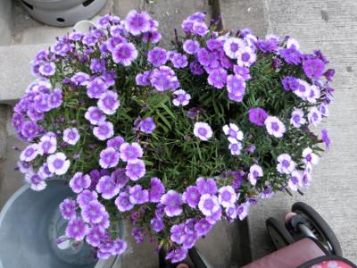 150811-紫なでしこ-1