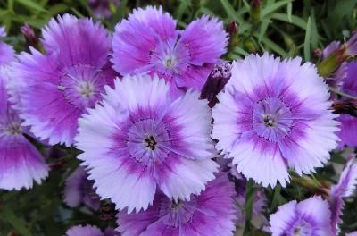 150811-紫なでしこ-2