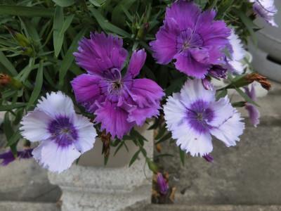 150811-紫なでしこ-3