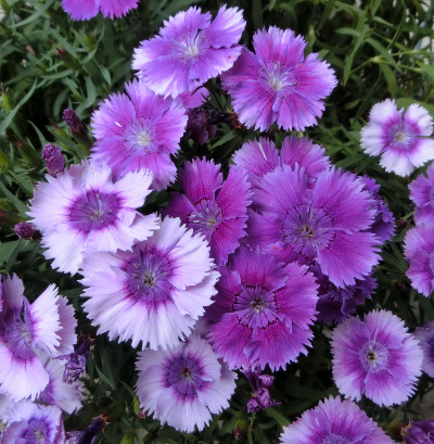 150811-紫なでしこ-4