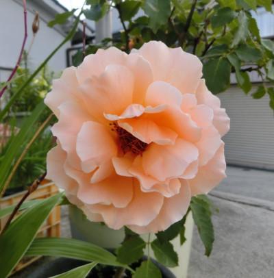 150818-我家の花ジャストジョイ-1