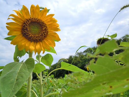 ヒマワリの花。