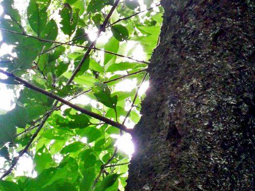 木にとまるアブラゼミ。