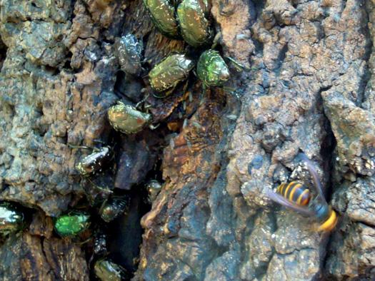 樹液に集まる昆虫とスズメバチ。