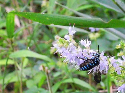 シマジタムラソウにとまる幸せの青い蜂、ルリモンハナバチ。