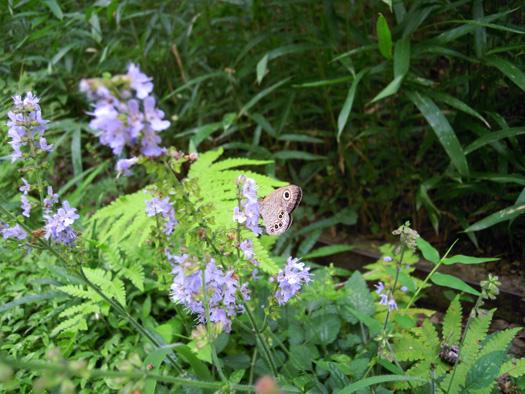 シマジタムラソウと蝶。