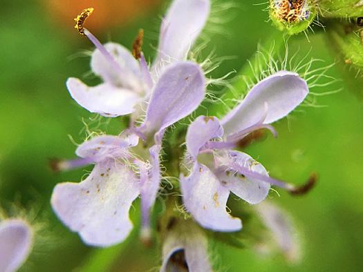 シマジタムラソウの花のアップ。