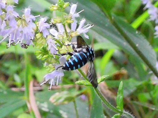 シマジタムラソウと幸せの青い蜂、ルリモンハナバチ2。