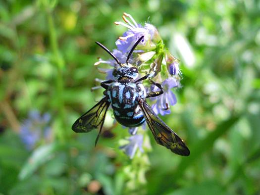 幸せの青い蜂、ルリモンハナバチの写真1。