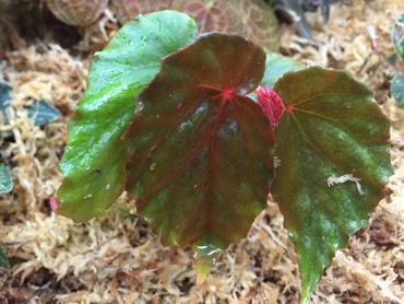 begonia-muji.jpg