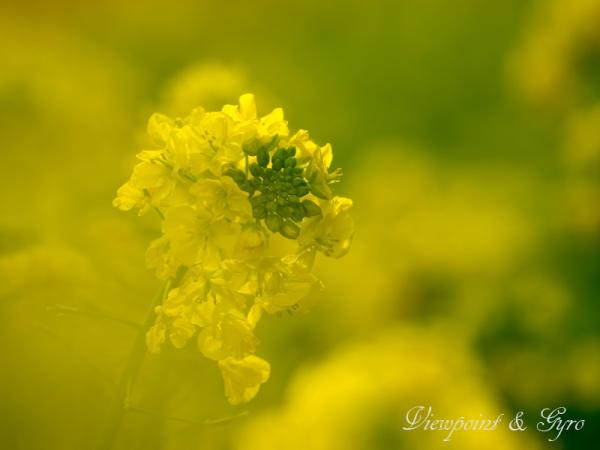 菜の花 F