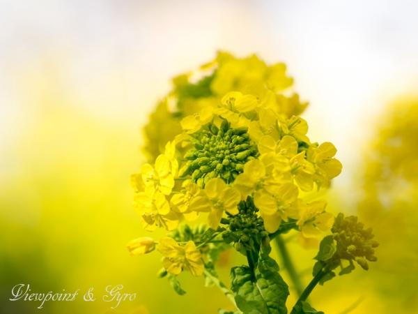 菜の花 G