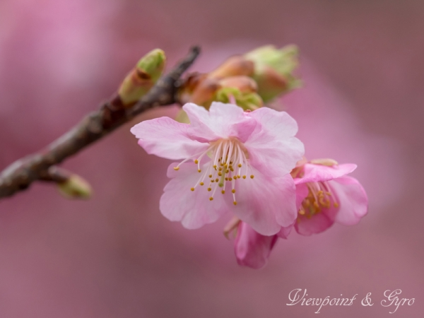 河津桜 C